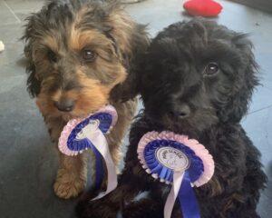 Cockapoo Puppies Graduating Puppy School