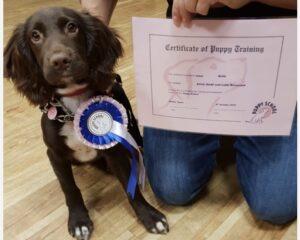 Spaniel Puppy Graduating Puppy School