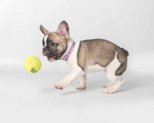 Frenchie Puppy Playing with Toy